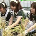 アキバ米2011を収穫してるメイドをカメラマンが黒スト太もも激写